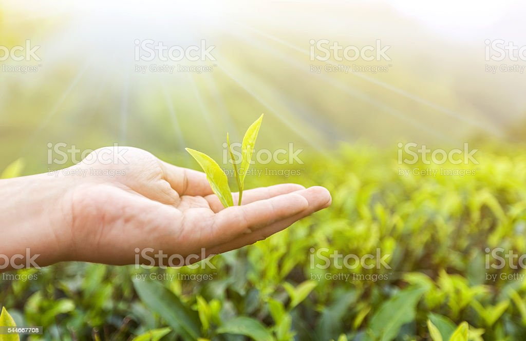 hand holding a piece of green tea leaf stock photo