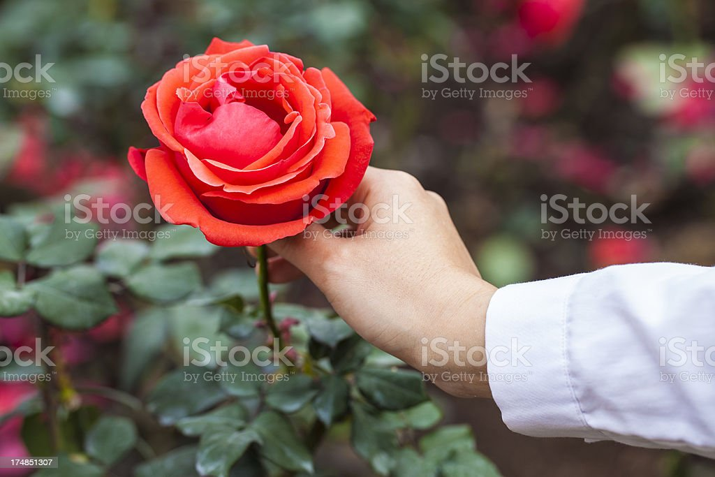 Hand holding a rose royalty-free stock photo