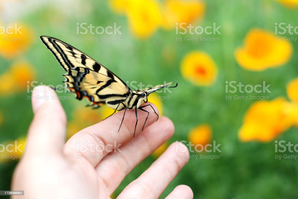 A hand holding a swallowtail butterfly out in the garden stock photo