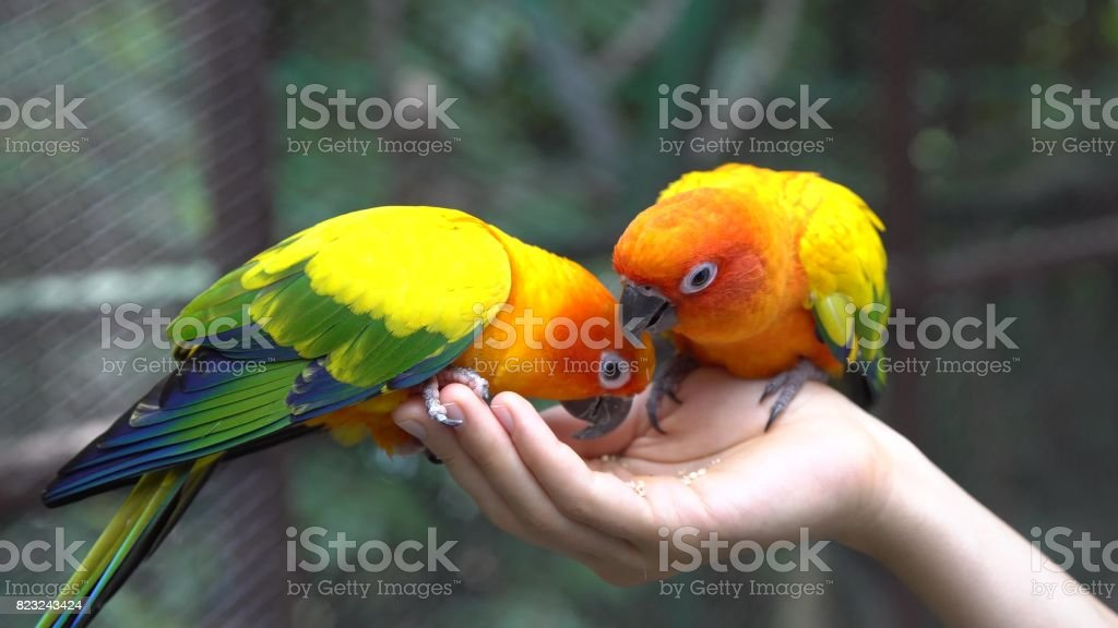 Hand Holding and Feeding Parrots - Animal Care Concept. stock photo