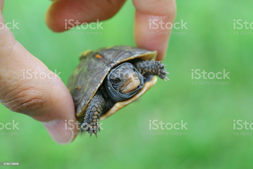 Hand Holding Baby Box Turtle stock photo