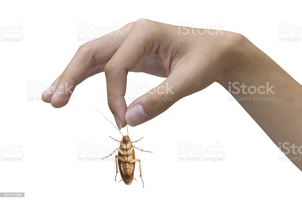 Hand holding brown cockroach over white background stock photo