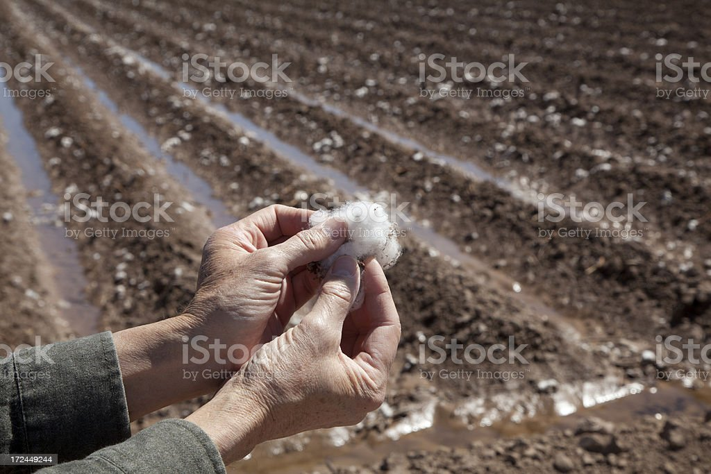 Hand Holding Cotton in Field royalty-free stock photo