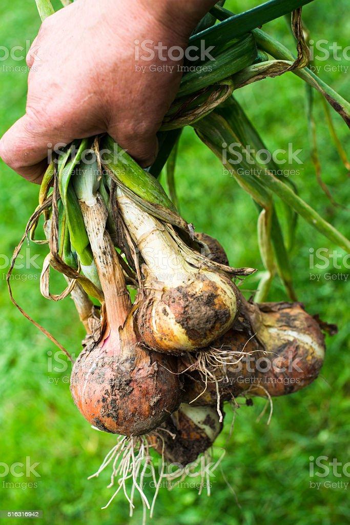 Hand holding freshly dug onion bulbs stock photo