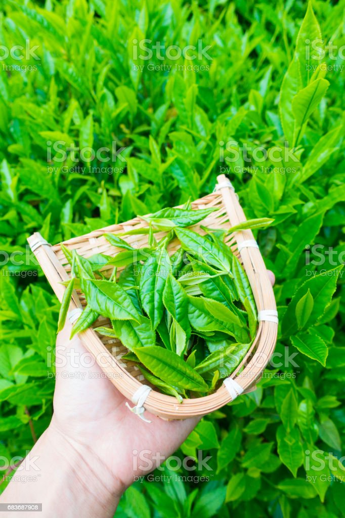 Hand holding freshly tea in basket stock photo