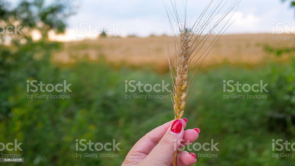 Hand holding golden wheatear, selective focus stock photo