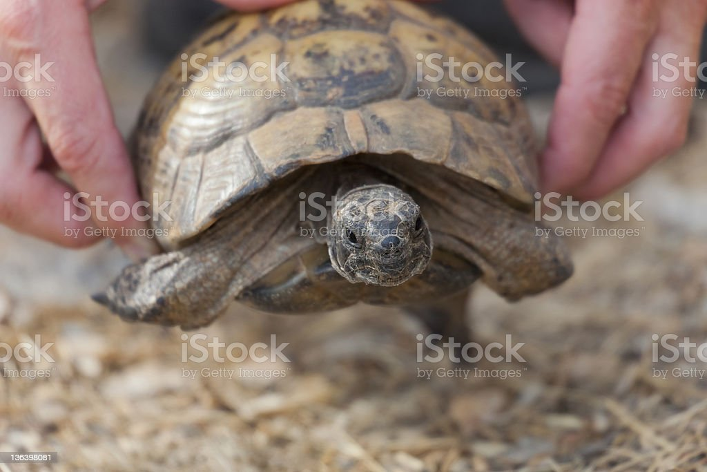 Hand holding Hermann's Tortoise stock photo