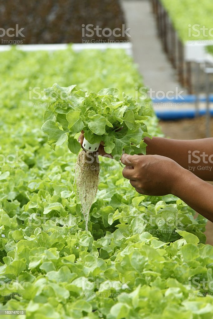 Hand holding Hydroponics Vegetables royalty-free stock photo