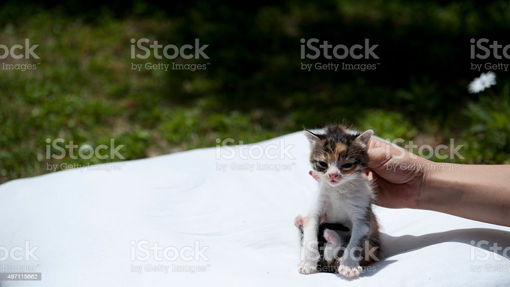 Hand holding kitten by scruff of neck on white pillow stock photo