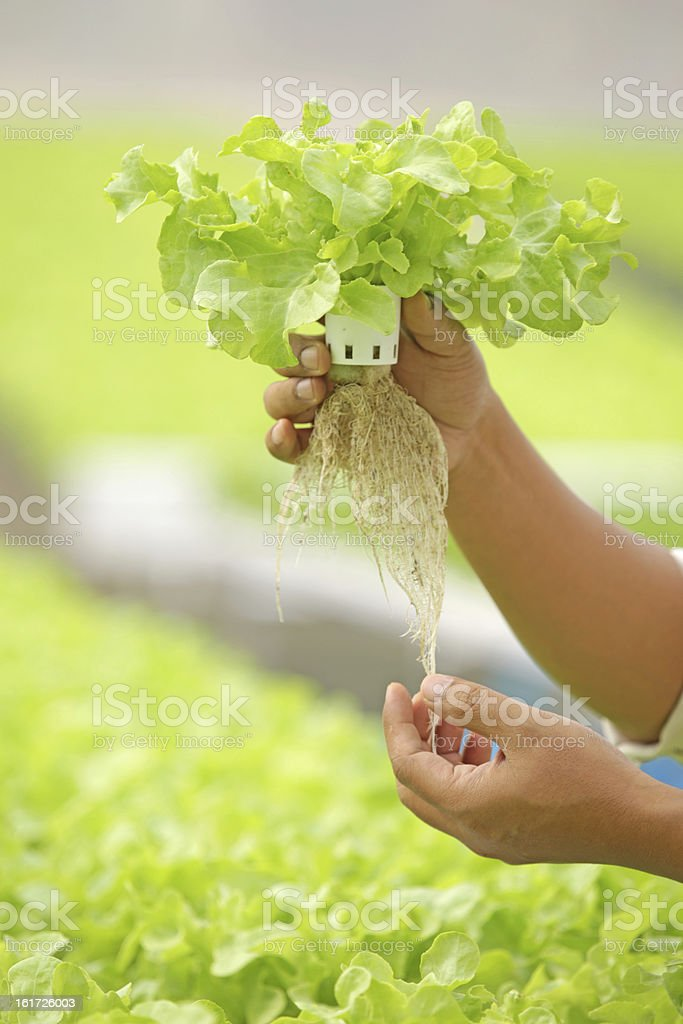 Hand holding lettuce produce of hydroponic culture stock photo
