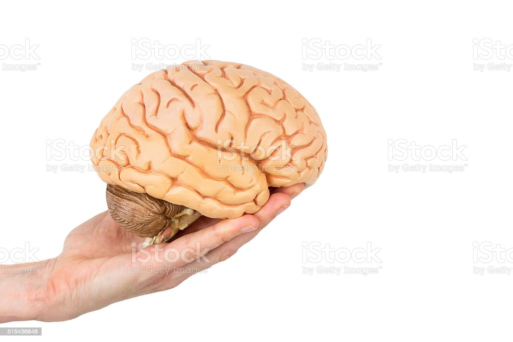 Hand holding model human brains isolated on white background stock photo