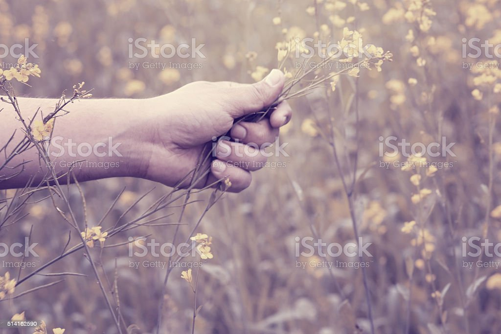Hand holding mustard plant stock photo