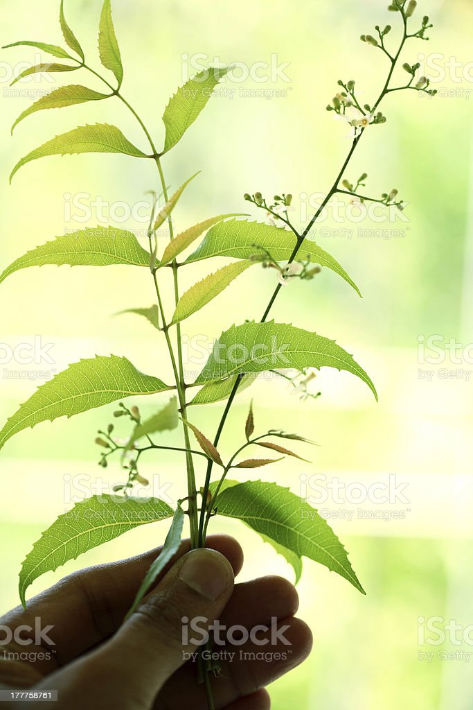 Hand holding neem leaves royalty-free stock photo