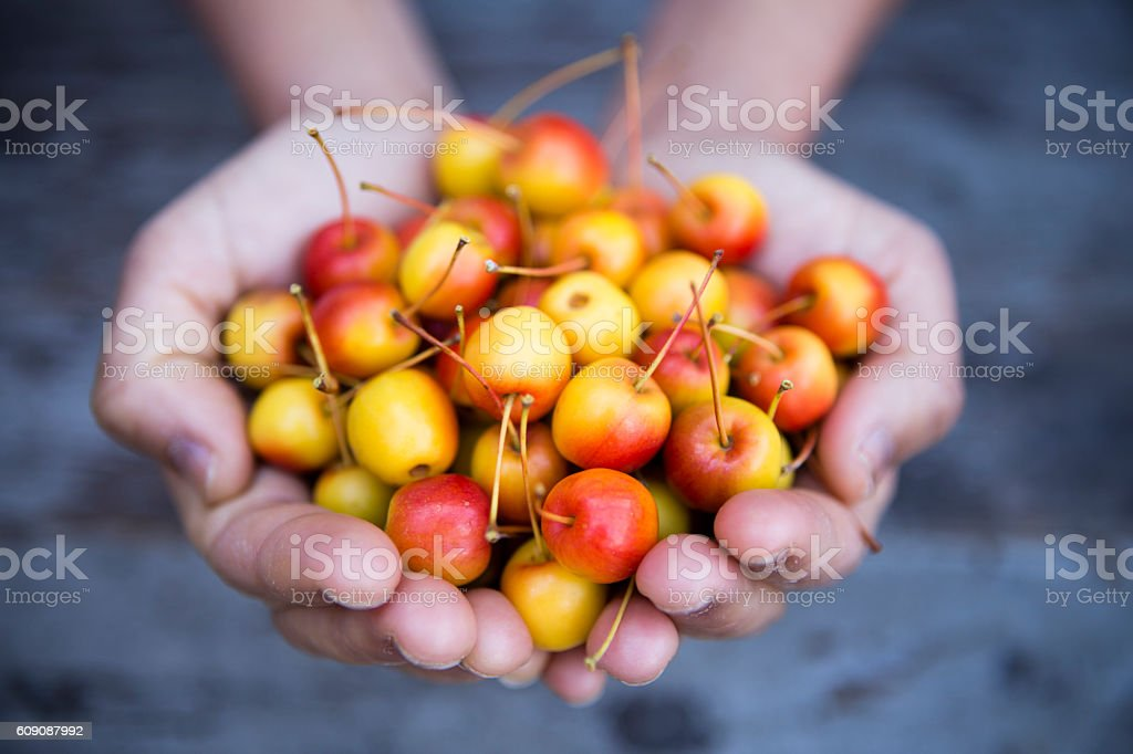 Hand Holding Organic Ripe Crabapple stock photo
