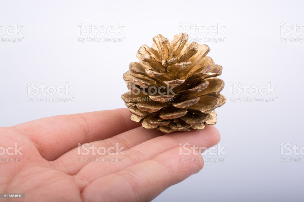 Hand holding pine cone on a white background stock photo