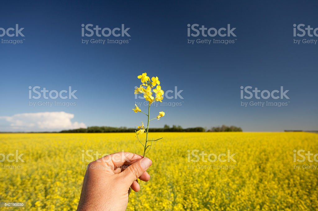 Hand Holding Rapeseed stock photo