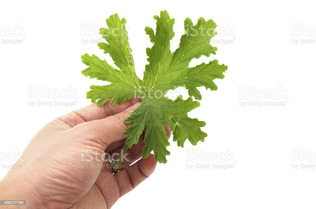 Hand holding SCENTED GERANIUMS leaf close up mosquitoes repellen stock photo