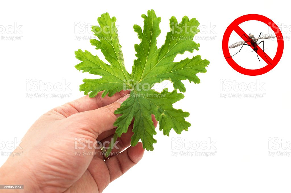 Hand holding SCENTED GERANIUMS leaf stock photo