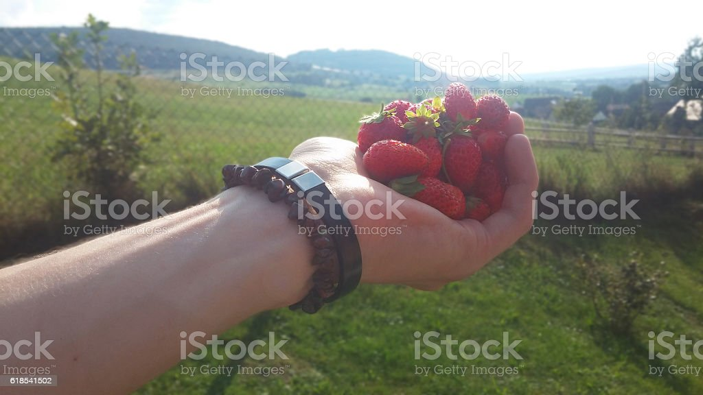 Hand holding strawberries in the sun stock photo