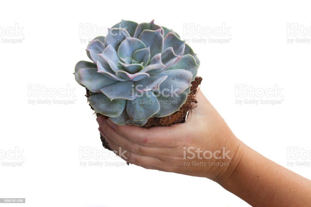 Hand holding succulent plant stock photo