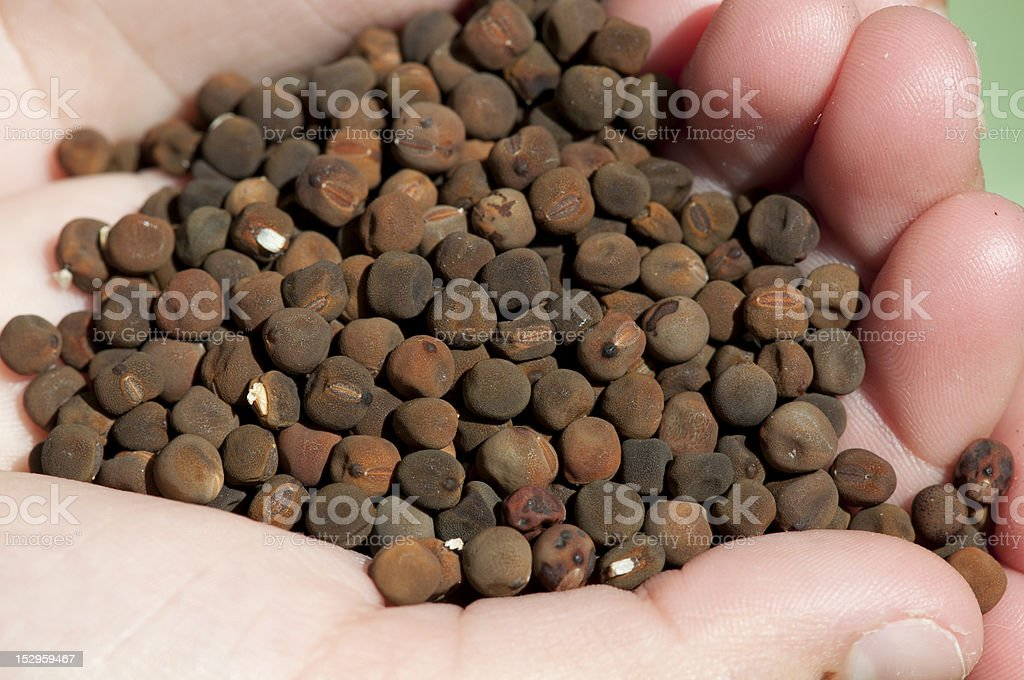 Hand holding sweet pea seeds royalty-free stock photo