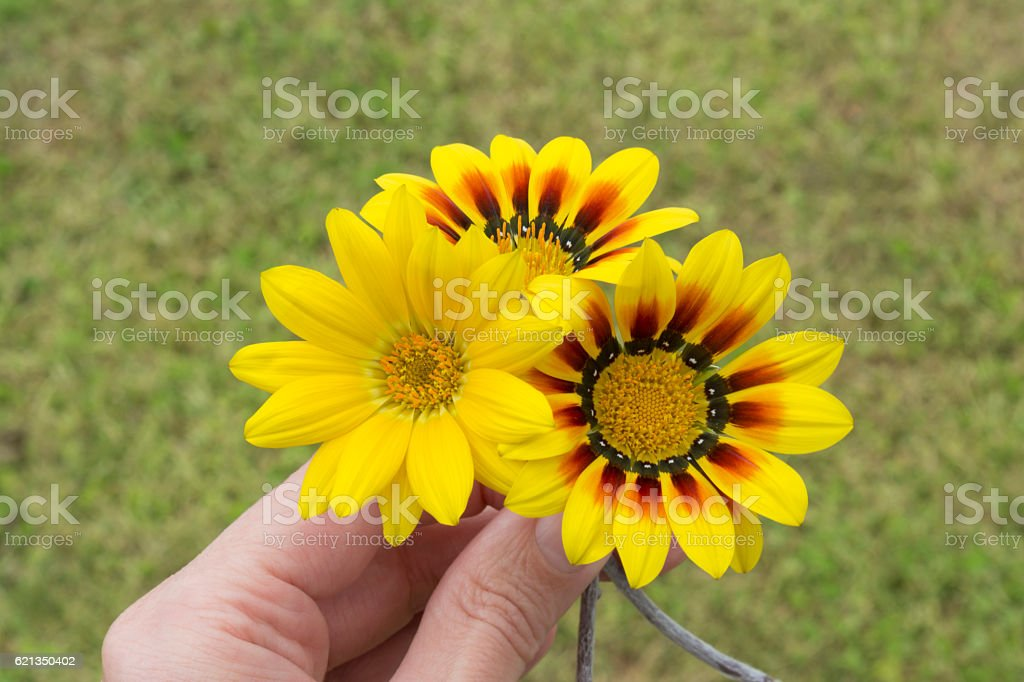 Hand Holding Three Yellow Gazanias, One Plain, Two with Red stock photo