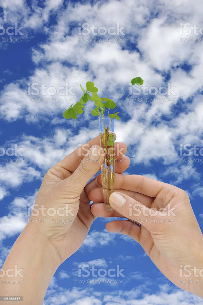 Hand holding tube with fresh  sorel (oxalis) royalty-free stock photo