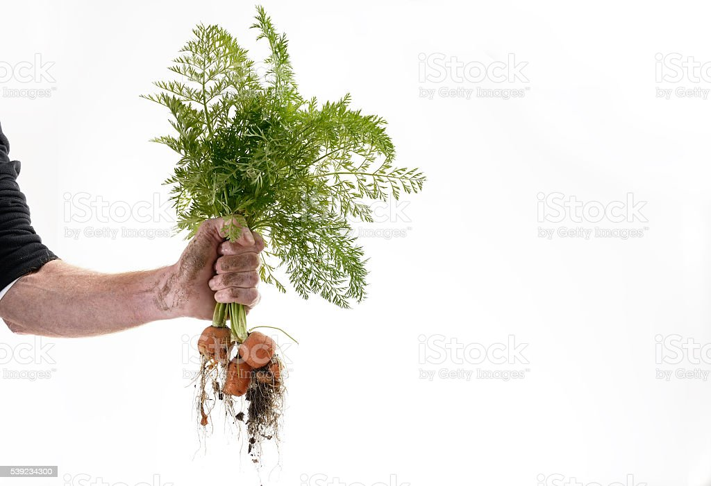 Hand holding ugly organic carrots horizontal stock photo