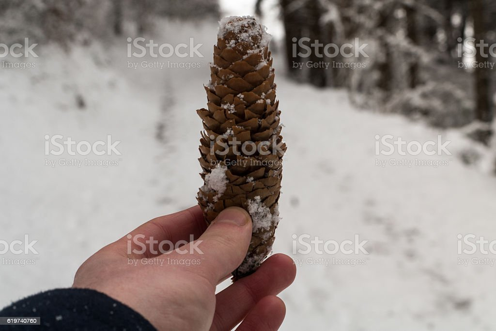 Hand holding up a pine cone in winter stock photo