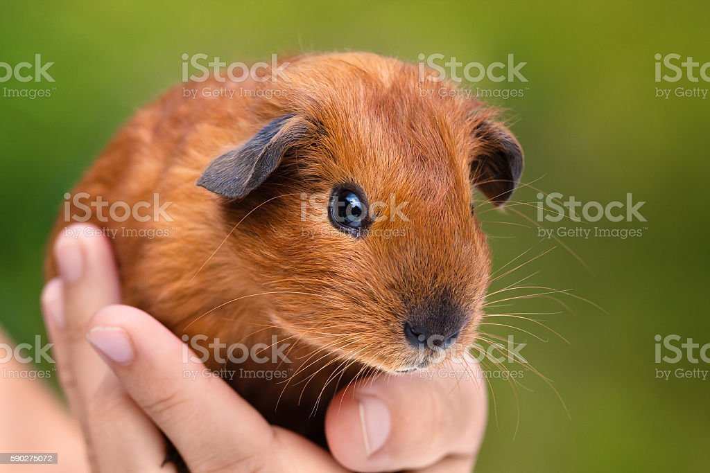 hand holding young guinea pig stock photo