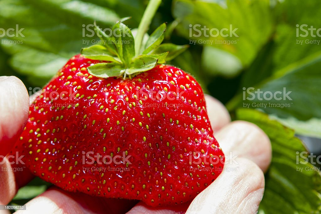 Hand holds a fresh strawberry still on the vine. royalty-free stock photo