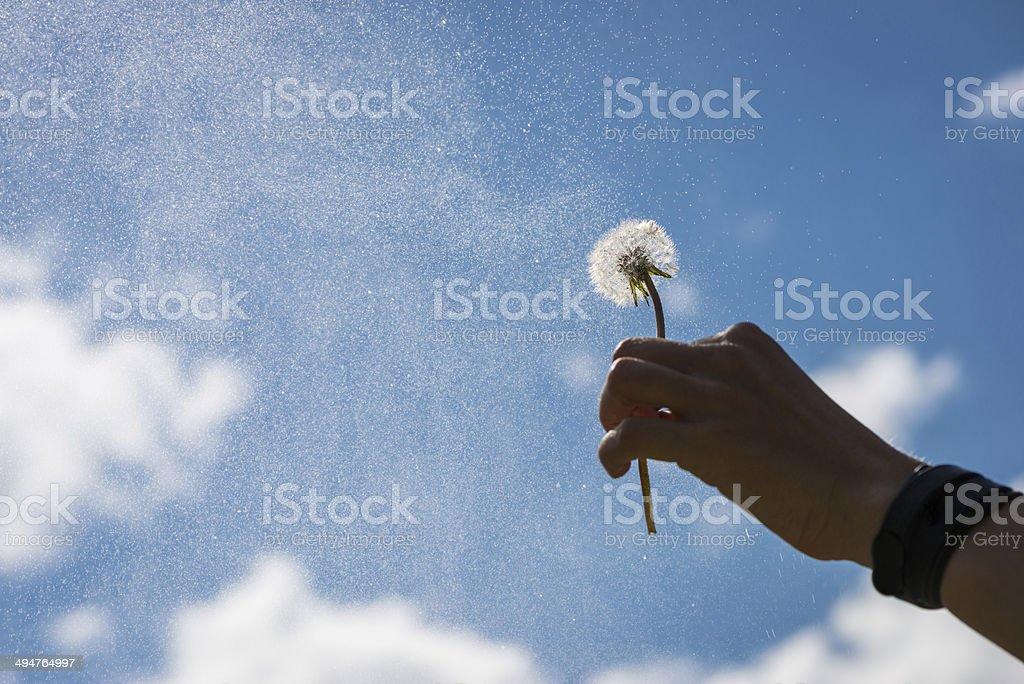 hand holds blowball flower up into the sky stock photo