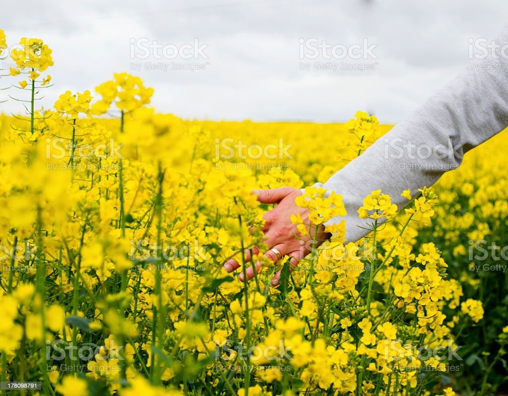 Hand in a field of flowering rape seed stock photo