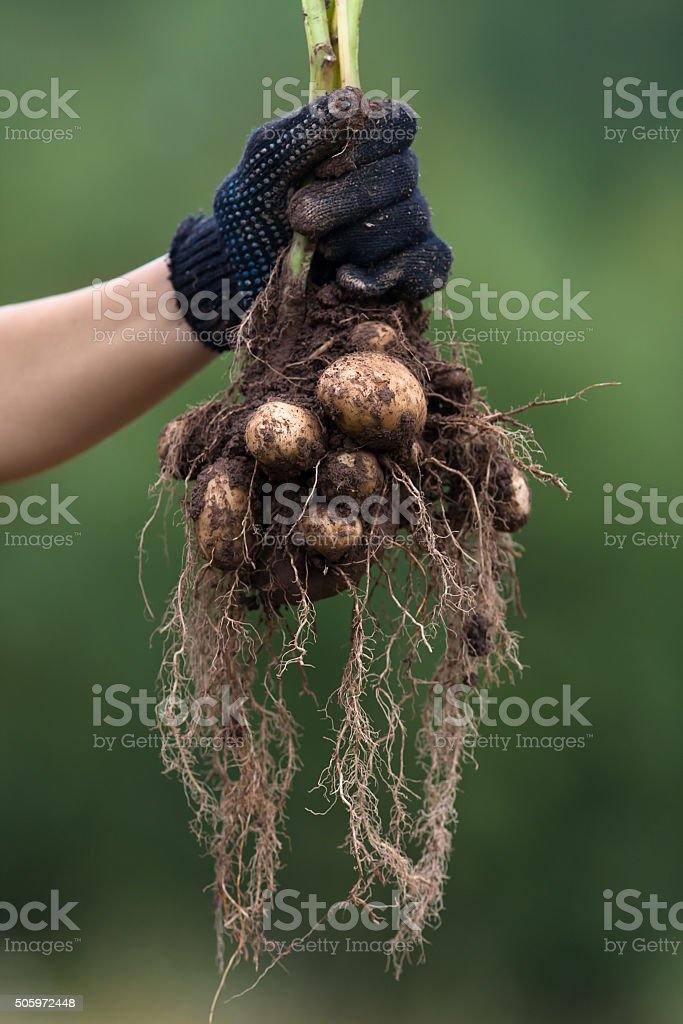 hand in glove holding digging bush potato stock photo