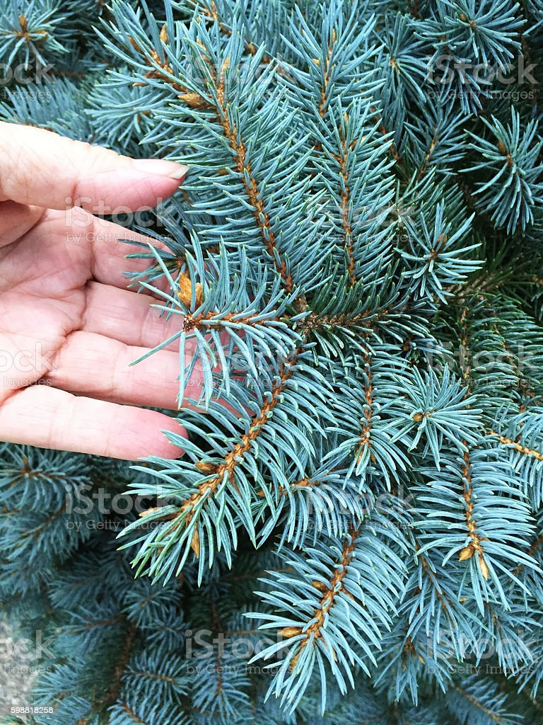 Hand Inspecting Blue Spruce Tree Branches stock photo