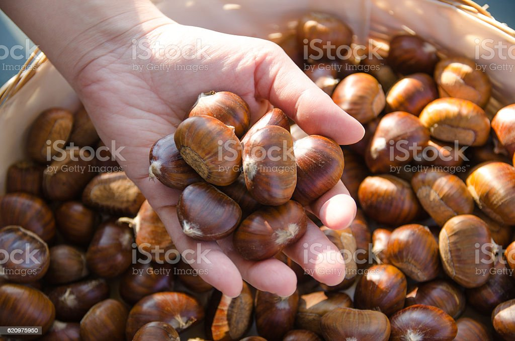 Hand keeping chestnuts royalty-free stock photo
