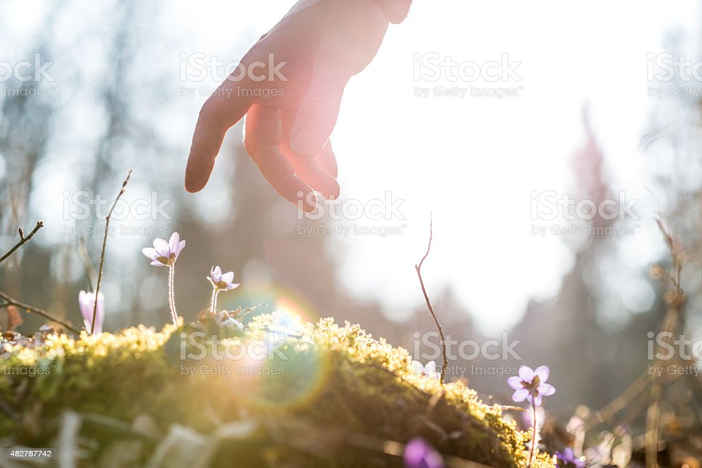 Hand of a man above a blue flower stock photo