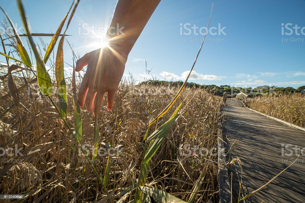 Hand of a person caressing wheat field stock photo