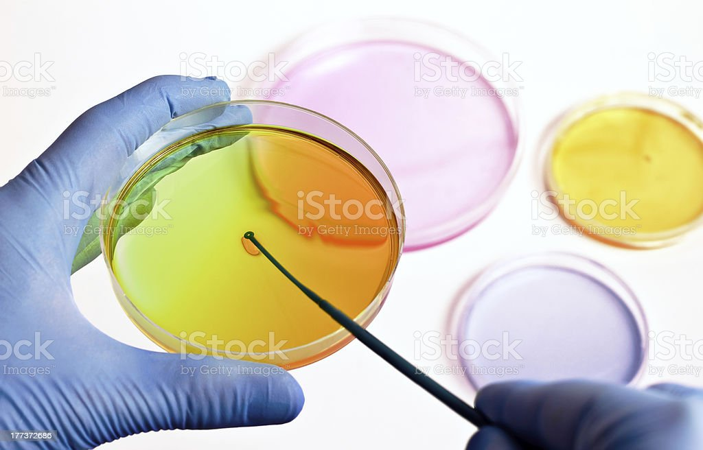 hand of a technician inoculating plates stock photo