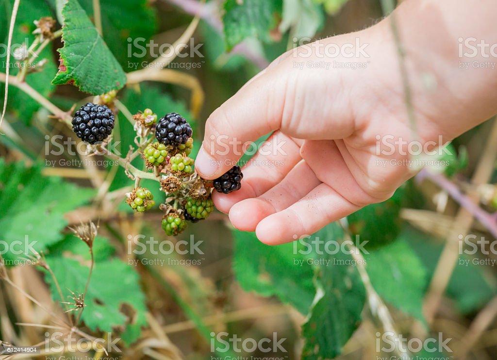 Hand of Children picking wild blackberries stock photo