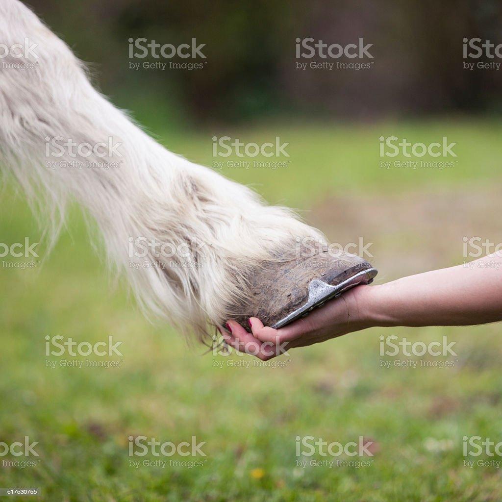 hand of girl holds hoof of white horse stock photo