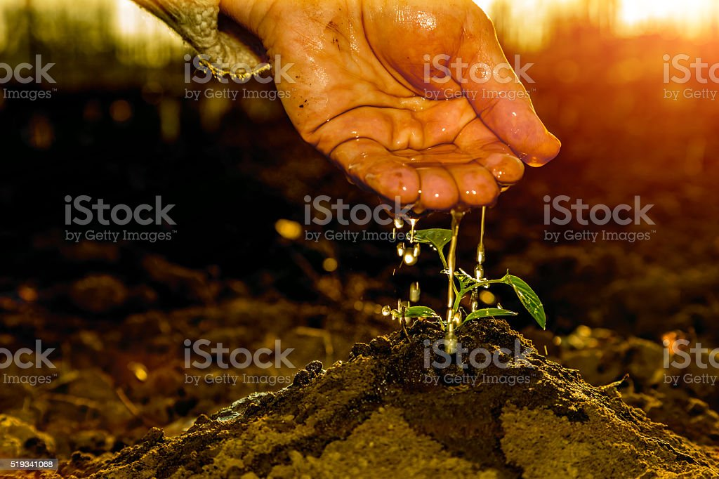 Hand of old Farmer watering small Plant in Morning Sunlight stock photo