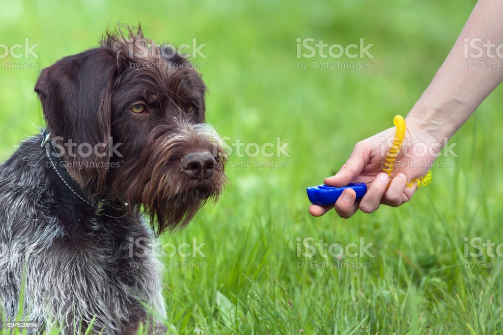hand of woman training young dog with clicker stock photo