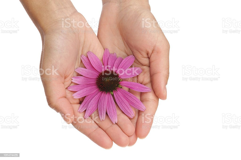 Hand of young woman holding Echinacea flower royalty-free stock photo