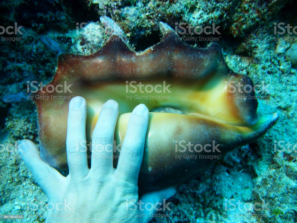 Hand on giant spider conch stock photo