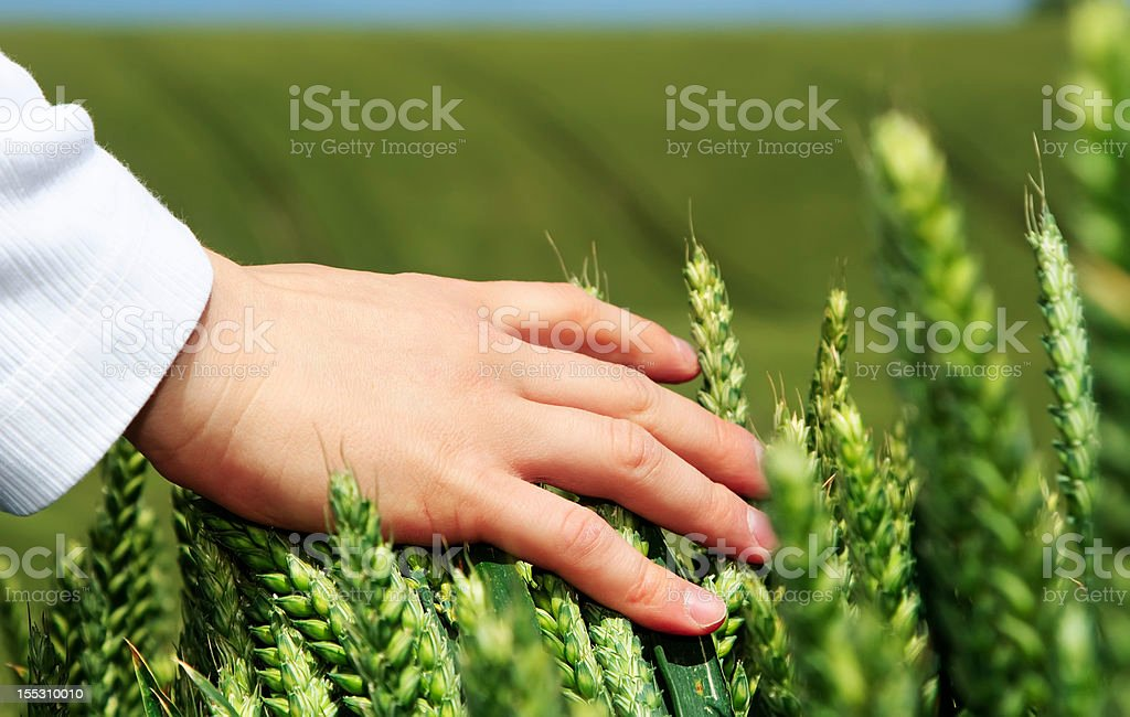 Hand over rye field royalty-free stock photo