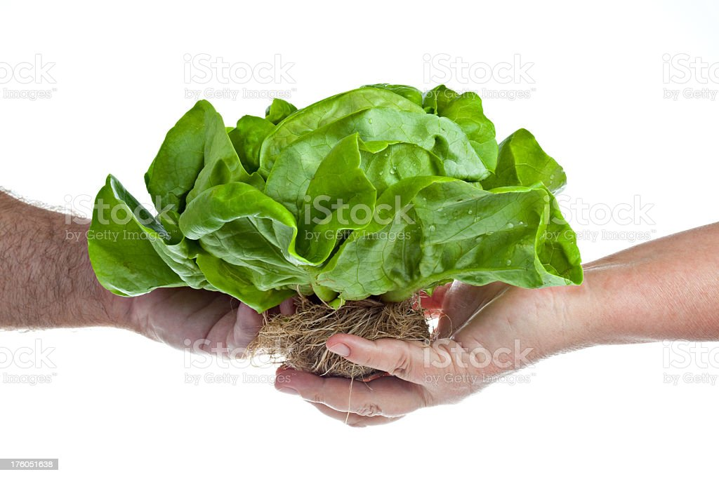 Hand Passing On A Hydroponic Butter Lettuce stock photo