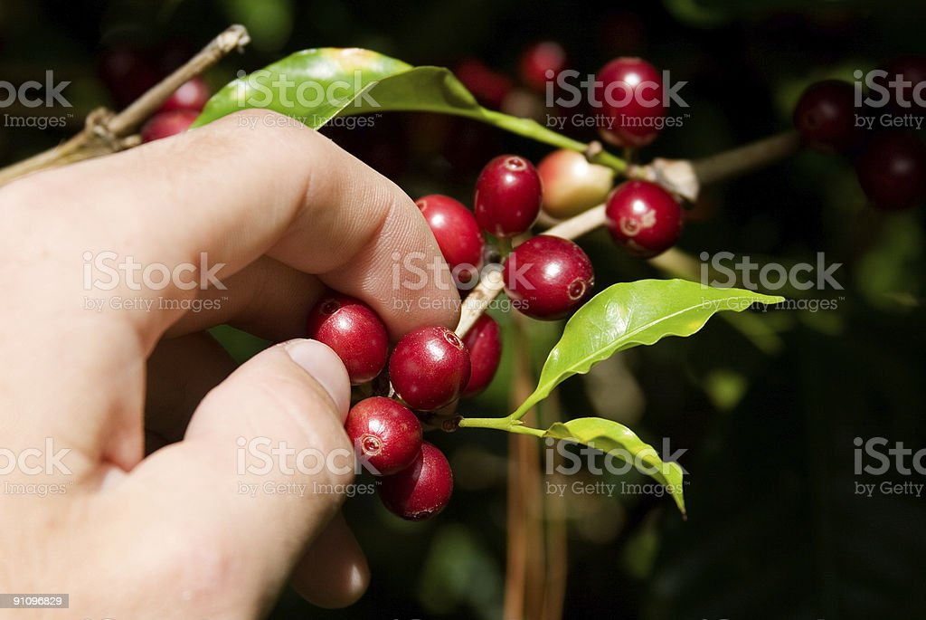 Hand Picked Coffee stock photo