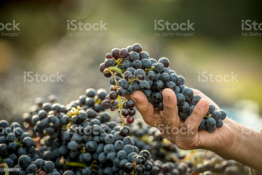 Hand picked grapes stock photo