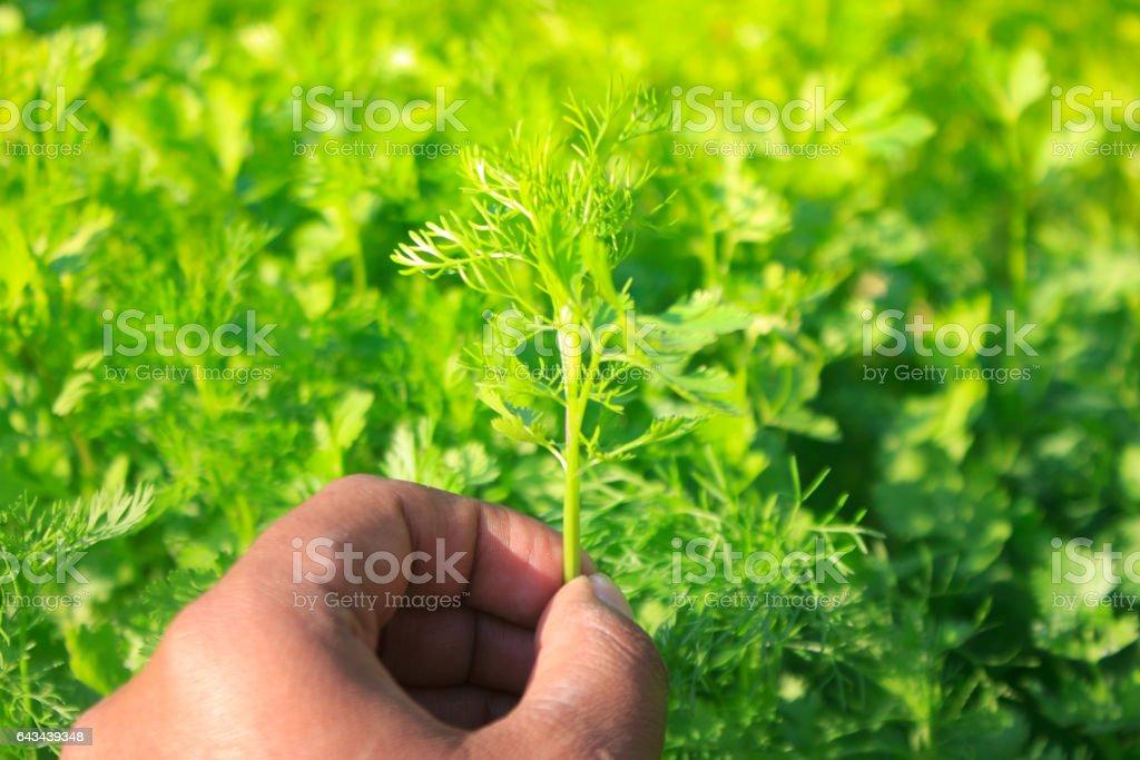 Hand picking coriander leaves stock photo